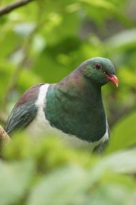 the kereru is the native NZ  giant pigeon