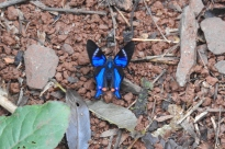 1 yacutinga butterfly DSCN0815