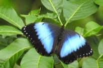 1 yacutinga butterflyDSCN0888
